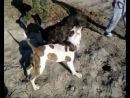 собачьи бои американский бульдог против питов и стаффов